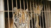 9 con hổ còn sống trong số 17 cá thể hổ được giải cứu ở Nghệ An sẽ được xử lý ra sao?
