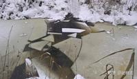 Các nhà khoa học lần đầu ghi nhận cảnh tượng chó sói ''dàn cảnh'' để bắt gấu nâu