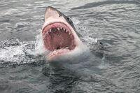 Mỹ: Ra biển lướt sóng, người đàn ông bị cá mập tấn công, lát sau thấy cảnh hãi hùng