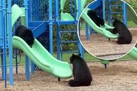 Khoảnh khắc thú vị gấu mẹ dạy con chơi cầu trượt