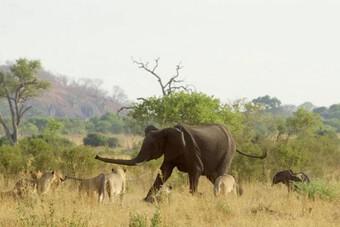 Bầy sư tử cố gắng săn voi con và cái kết đầy bất ngờ