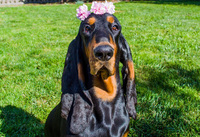 """""""Nàng"""" chó lập kỷ lục Guinness vì sở hữu đôi tai dài nhất thế giới"""