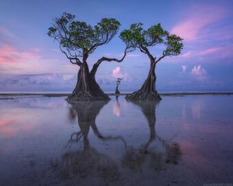 Độc đáo những cây ngập mặn ''nhảy múa'' trên đảo Sumba