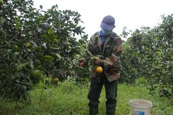 Hàng trăm tấn cam K4 ở Quảng Trị cần tiêu thụ