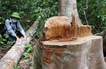 Phú Yên: Bắt thêm 2 đối tượng phá rừng tại huyện Sơn Hòa