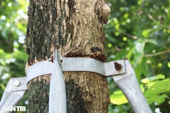"""Cận cảnh """"gông cùm"""" siết chặt hàng cây xanh đang tuổi lớn trên đường Hà Nội"""