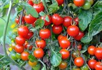 """Bất ngờ với lợi ích sức khỏe tuyệt vời của loại cà chua """"nhỏ mà có võ"""""""