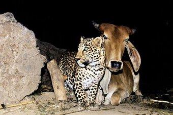 """""""Tình yêu"""" hy hữu giữa bò và báo"""