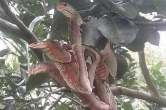 Bức ảnh bướm đêm có cánh như đầu rắn trên cây khiến cư dân mạng xôn xao