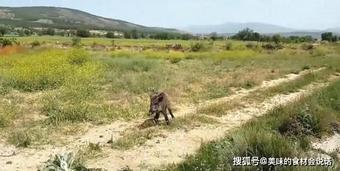 Lợn rừng mắc kẹt dưới mương chờ chết, được một người thợ săn tốt bụng kéo lên: Phản ứng sau đó khiến tất cả thót tim!