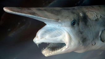 20 loài cá mập kỳ lạ nhất đã từng và vẫn đang sống trên Trái Đất