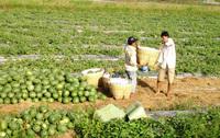 Nhiều nông sản ở ĐBSCL tăng giá trở lại
