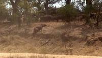 Trâu rừng kéo quân đuổi đánh sư tử, giải cứu đồng loại