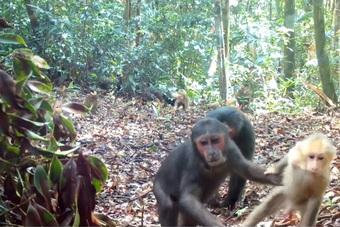 Đàn khỉ mặt đỏ quý hiếm vô tư đi lại qua bẫy ảnh