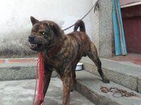 """Cứu chú chó có bộ lông loang lổ về nuôi, """"lai lịch"""" của con vật khiến chàng trai phát tài"""