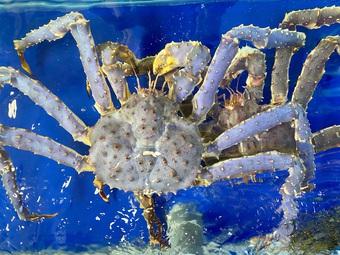Độc đáo cua King Crab màu tím xanh, khách trả 100 triệu đồng không bán