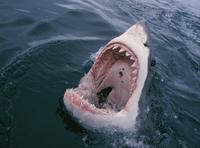 Nghiên cứu của Úc: Cá mập cắn người do nhầm với hải cẩu, sư tử biển
