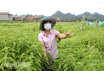 Ninh Bình: Trồng hương nhu, ngải cứu, bạc hà để nấu thành tinh dầu thơm nức, thôn nữ thu 1,2 tỷ, lãi 600 triệu
